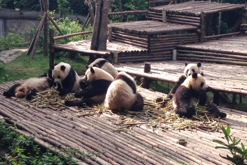 A group of pandas playing in Chengdu China