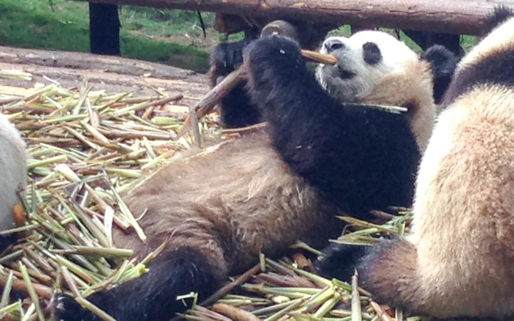 A panda laying down eating bamboo