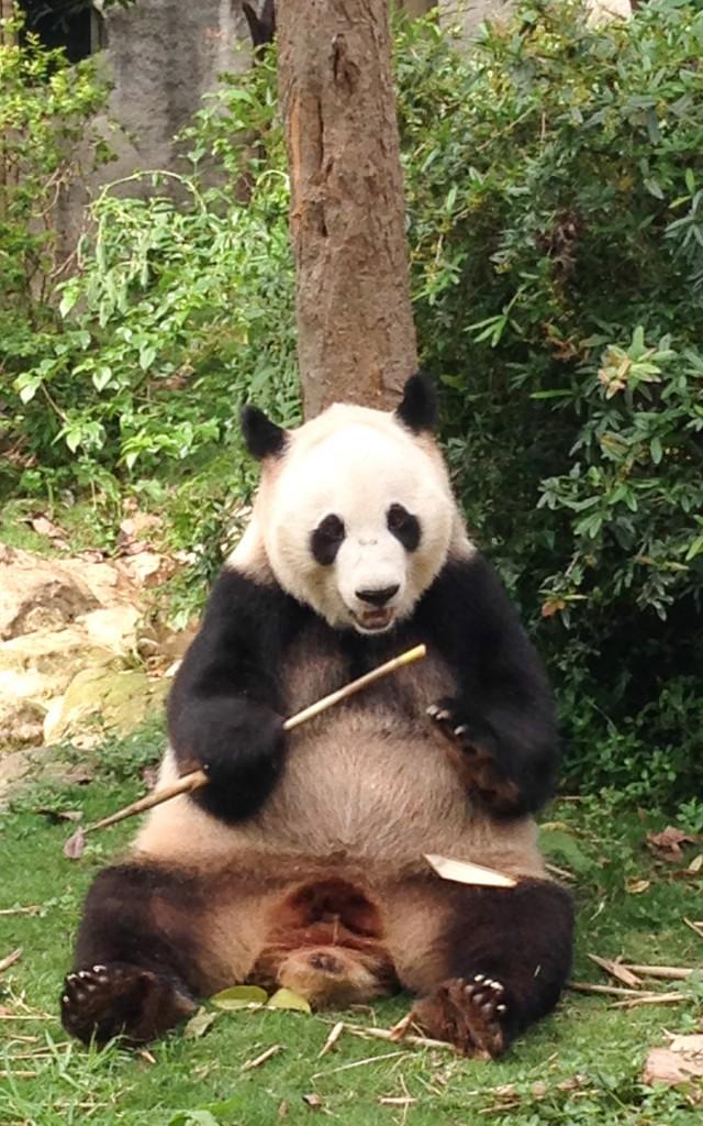 A panda alone eating bamboo