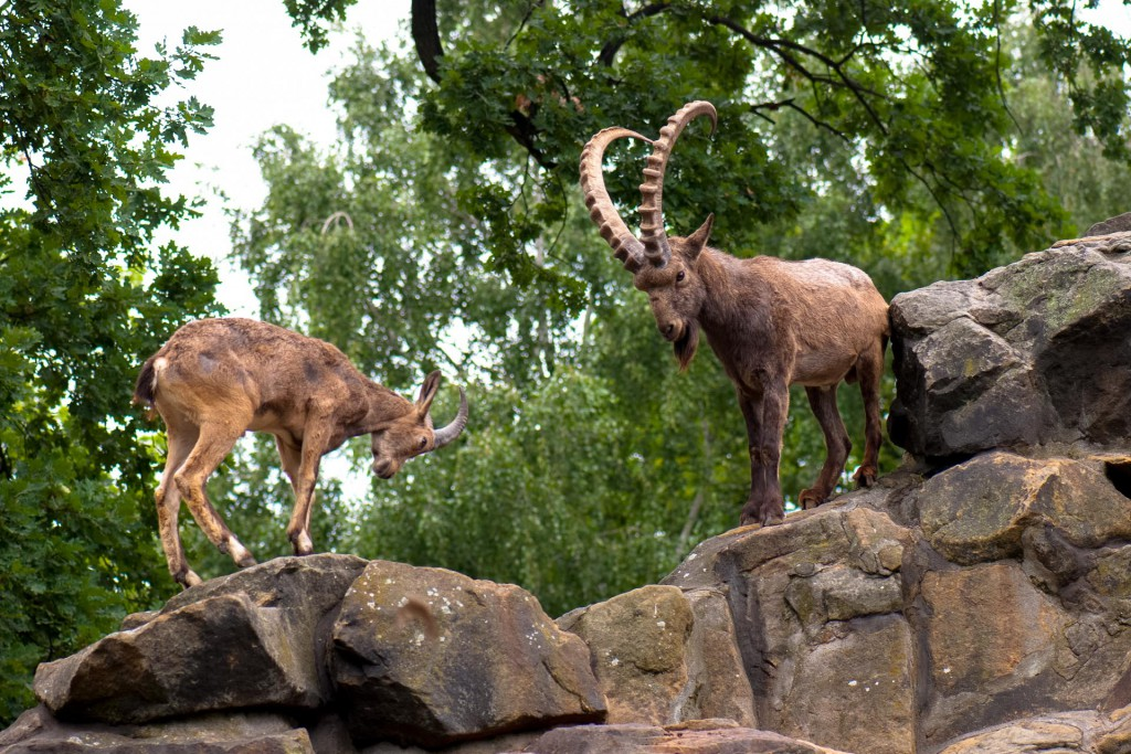 Two Siberian ibexes standing on some rocks