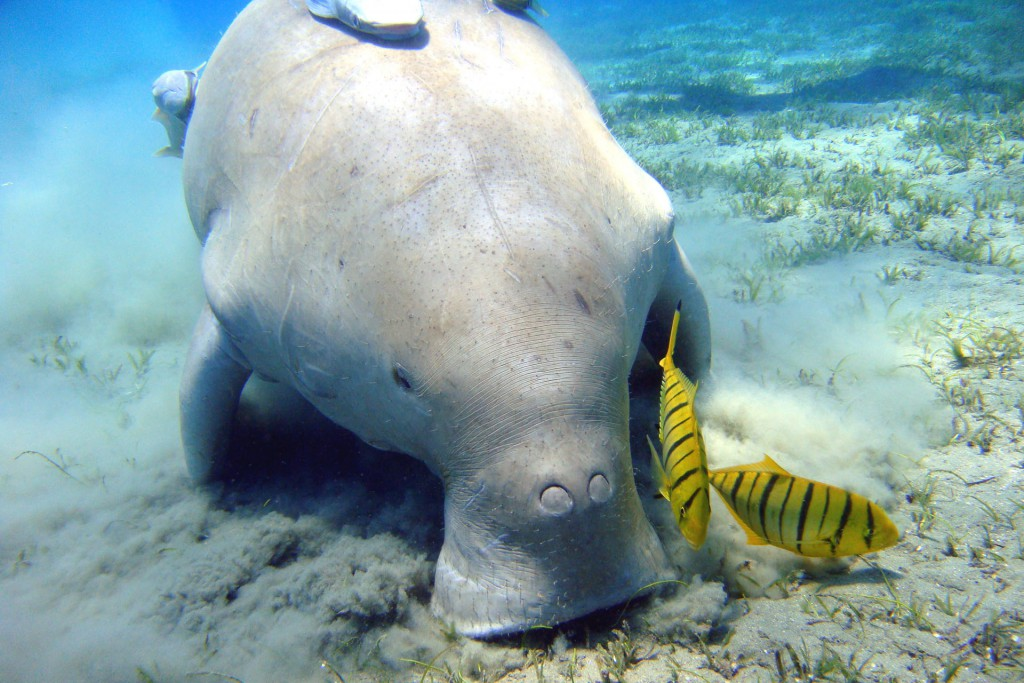A dugong floating near the ocean floor