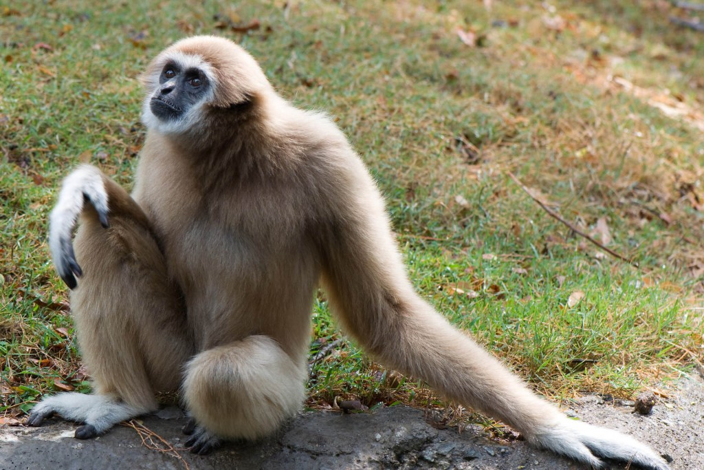 A gibbon sitting on the grass