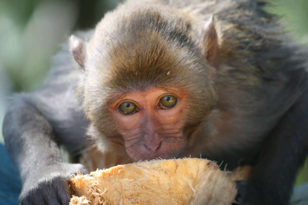A macaque eating some food