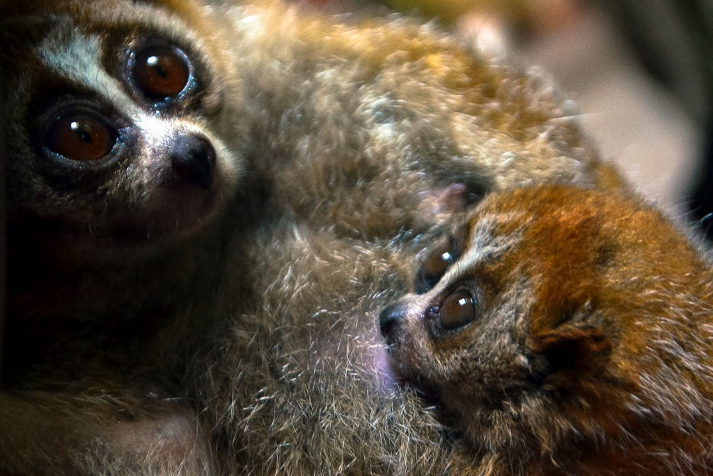 A six-week old pygmy slow lori with its mother