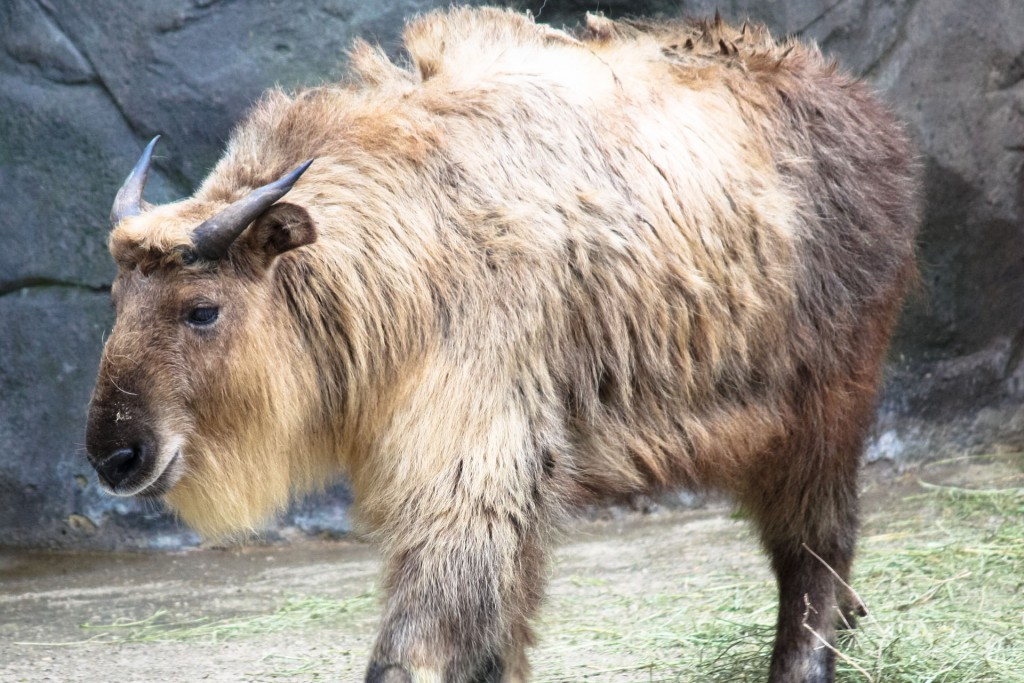 A takin walking on its own